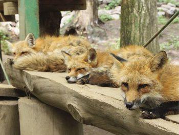 キツネが100匹以上!日本唯一のキツネの動物園