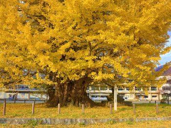 小学校敷地に立つ、樹齢800余年の大イチョウ