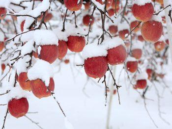 ひゃっこい、雪の帽子をかぶったリンゴ