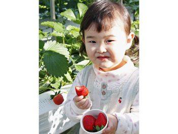 新春はいちご狩りの季節!甘い完熟いちごが30分食べ放題