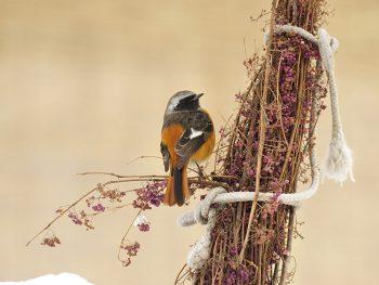 ムラサキシキブにとまる冬鳥・ジョウビタキ