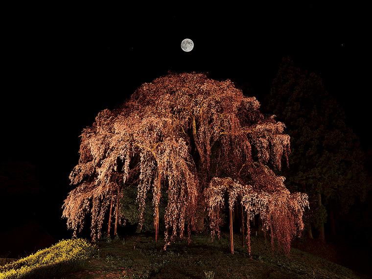 三春滝桜の孫と伝わる「合戦場のしだれ桜」