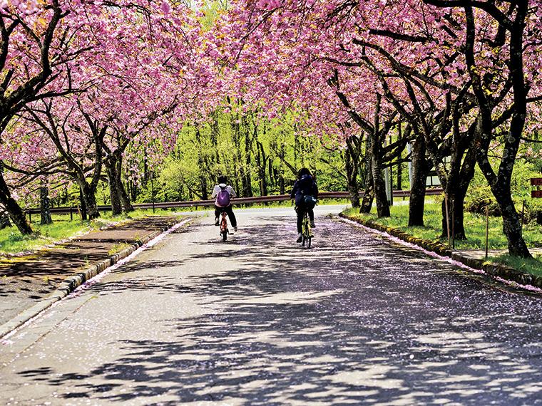 ソメイヨシノは4月中旬、八重桜は5月中旬が見頃で1ヶ月間花見を楽しめる