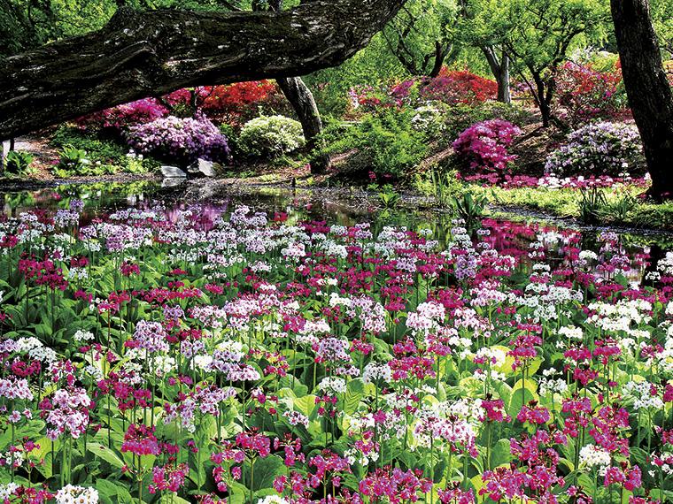 赤、白、ピンクや薄紫色の可憐な花を付けたクリンソウが、30アールもの広さに渡って自然林の中にファンタジックな空間を作り出す