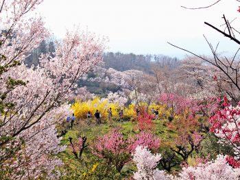 桃源郷の中を歩く「花見山公園」