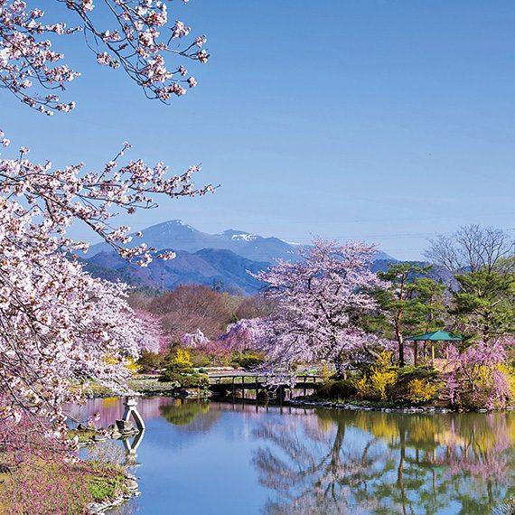 残雪の安達太良山を背景に、桜をはじめレンギョウなどの鮮やかな色彩に心奪われる