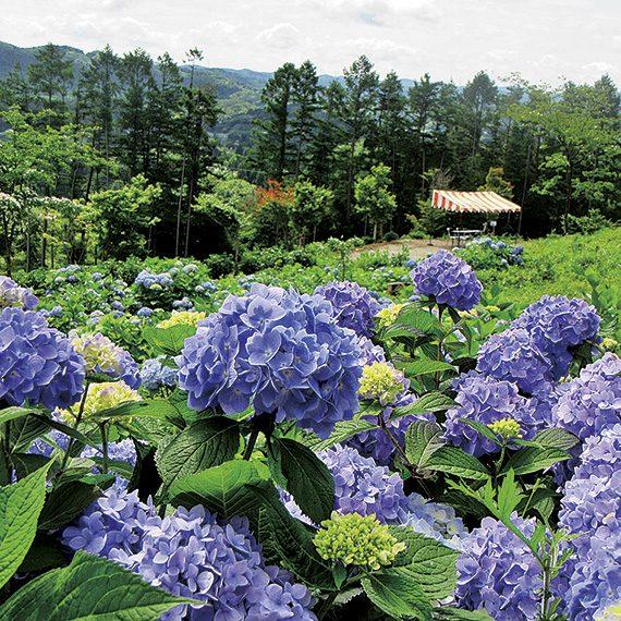アジサイは7月上旬からが見頃となる。春の芝桜以降も花が楽しめるので、気軽に出かけてみよう