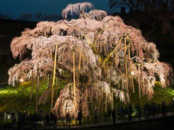 千年の時を超えた、艶やかなベニシダレザクラ「三春滝桜」