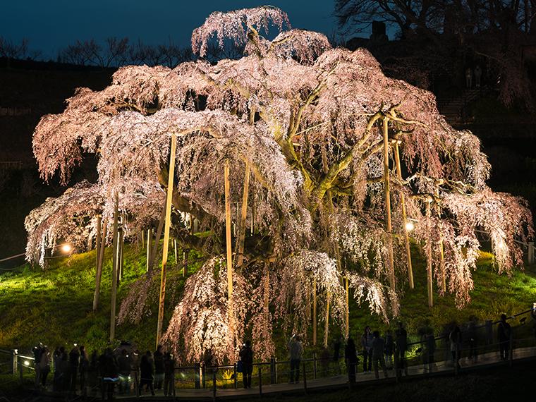 名のある一本桜も!日本三大桜の一つ「三春滝桜」