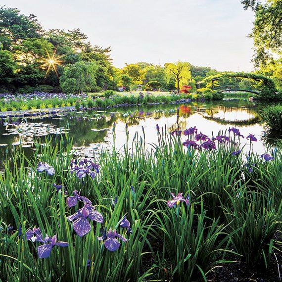 6月中旬頃からは池の周囲一面に、30万本もの紫や白のハナショウブが一斉に咲き乱れる