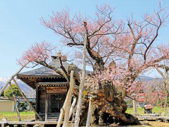 """樹齢500年以上!歴史を感じる""""古典桜""""を堪能しよう"""