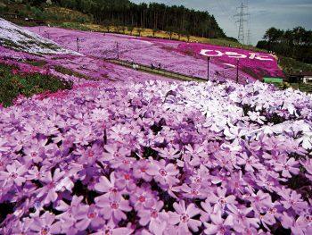 うつくしき芝桜を『ジュピアランドひらた』で体験