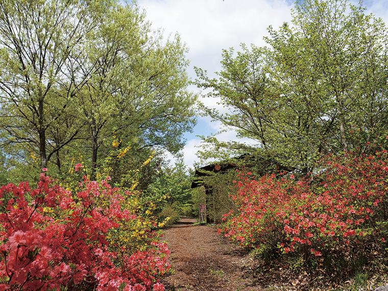 4月下旬から5月上旬、見頃となる散策路のヤマツツジ。八重桜や山桜も同時期に楽しめ、鮮やかな新緑の中に赤やピンクが彩りを添える