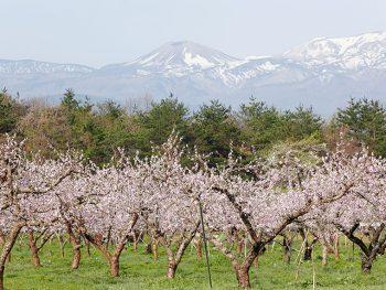 春を知らせる吾妻小富士の雪うさぎ