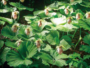 幻の花・クマガイソウが咲き誇る、幻想的なまつり