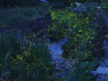 桑折町の産ヶ沢川で「ホタルまつり」。ゲンジボタルが光を宿す