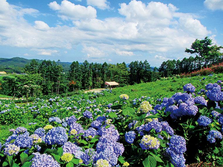 拡大な敷地を美しく彩るアジサイがゆっくりと楽しめる。色や品種によっても異なる花言葉を思い浮かべながら園内を歩きたい