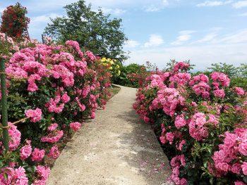 340種のバラが咲き誇る!『南陽のバラまつり2018』