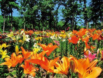 『ジュピアランドひらた』の「世界のあじさい園・ゆり園」
