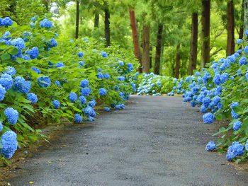 梅雨を彩る、土合舘公園のアジサイ