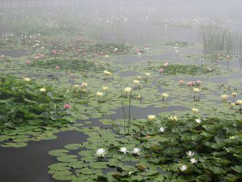 モネの「睡蓮」を想わせる、幻想的な照南湖のスイレン