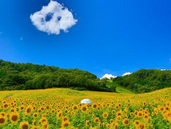 ひまわりいっぱいの三ノ倉高原で、幸福の鐘を鳴らそう