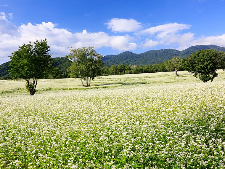 日本最大級のそば畑「たかつえそば畑」