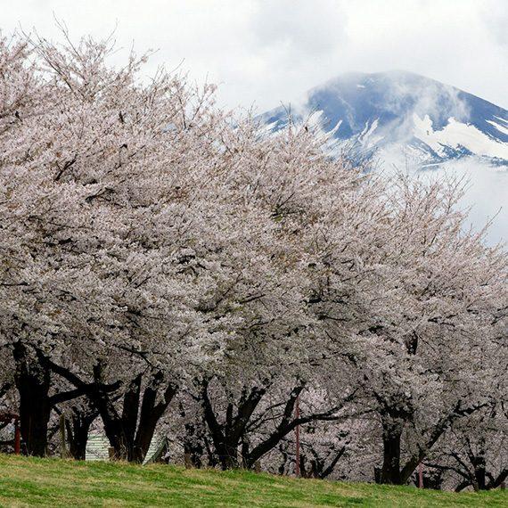 nipponjagaさん(撮影場所:荒川桜づつみ公園)
