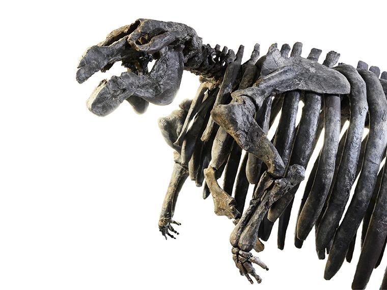 ヤマガタダイカイギュウ化石(山形県立博物館所蔵)