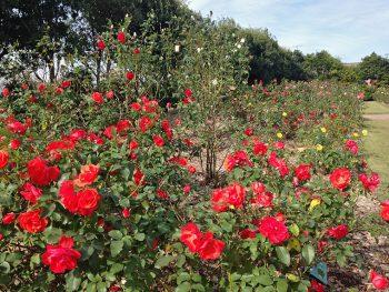 仙台市で、秋のバラや果物狩り、グルメなどを堪能できるイベントを開催