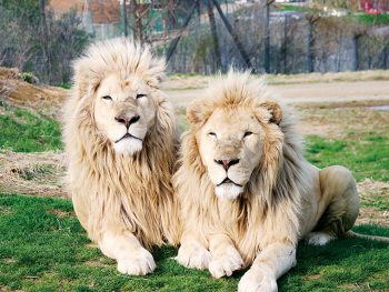 ホワイトライオンはじめ、様々な種類の動物たちと出会える!