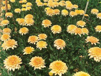 色とりどりの洋菊・マムが咲き誇る!「二本松の菊人形」と同時開催