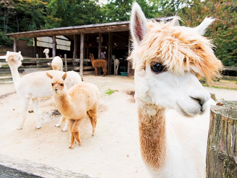 カフェから道路を挟んだ場所にあるアルパカ牧場では、約30頭が出迎えてくれる。写真手前はチキちゃん、中央はあかねちゃん。入園無料だが任意の愛護協力金をお願いしている。牧場で販売しているエサを与えることもできる
