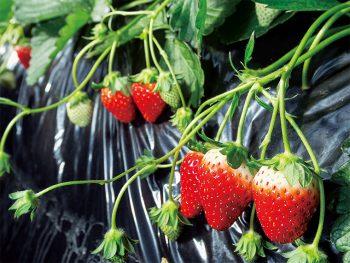 清らかな水と豊かな大地、農家の愛情に育まれ、甘さを増していく矢祭町のイチゴ