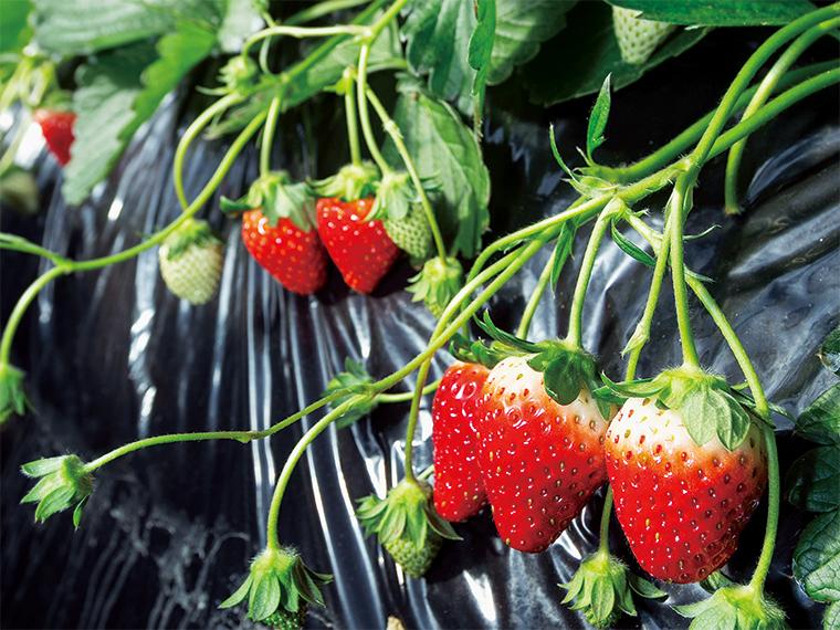 食べごろを迎えた矢祭町産イチゴ。品種は「とちおとめ」。栽培面積あたりの収穫量も福島県内トップクラス