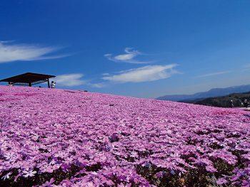 一面に広がる絶景「芝桜まつり」。ユリにアジサイと初夏も楽しめる平田村へ