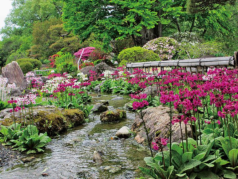 可憐な花を付けたクリンソウの群落は、5月中旬見頃を迎え幻想的な空間を作り出す