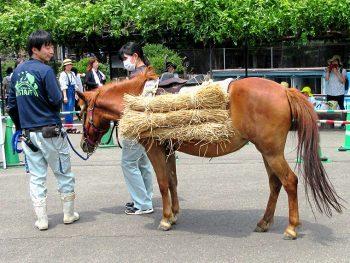 希少な「対州馬」を観察しよう。はたらく姿も再現!