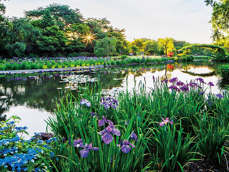 6月頃には30万本ものアヤメが一斉に咲き始め、青、紫、ピンク、黄色などで、池の周囲を華やかに彩る