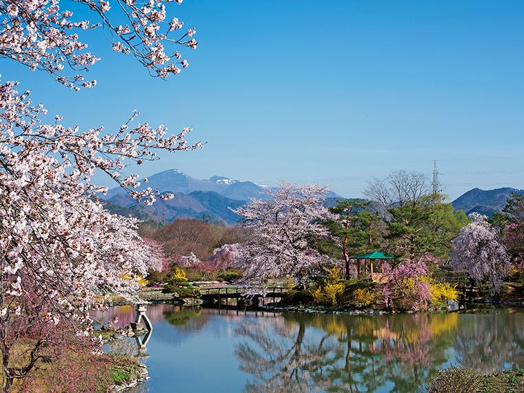 まだ雪を残す安達太良山を背景に咲く満開の桜。合間には色鮮やかなレンギョウが彩りを添える。水面に映し出される景色にも心奪われる