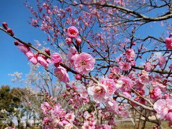 約60種150本の梅が見頃!「春風マーケット」も開催
