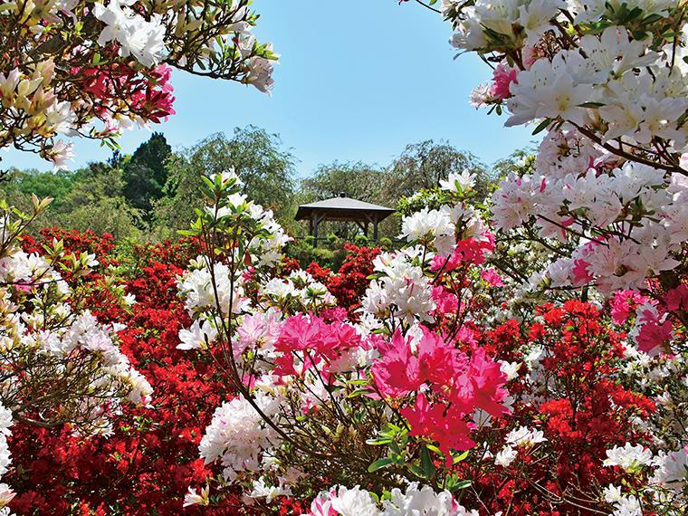花き栽培農家「武藤園芸」が営む「ムトーフラワーパーク」。桜の時期が終わると赤、白、ピンクと色とりどりのツツジが見頃に。クルメ、キリシマ、ヒラド、オオムラサキなど多くの種類が咲き誇る