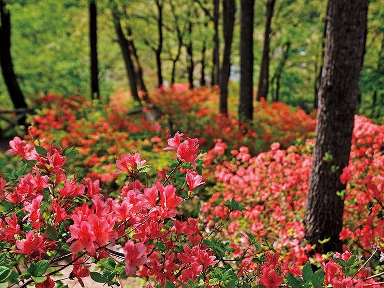 4月下旬にはハナモモや八重桜、ヤマツツジなどが見頃を迎える。濃淡さまざまなピンク色と里山の新緑が見事なコントラストを作り出す