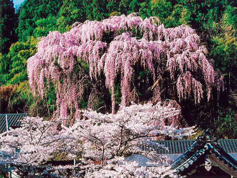 作家でもある玄侑宗久さんが住職をつとめる「福聚寺」。お寺を守るように咲くしだれ桜も見ごたえがあります