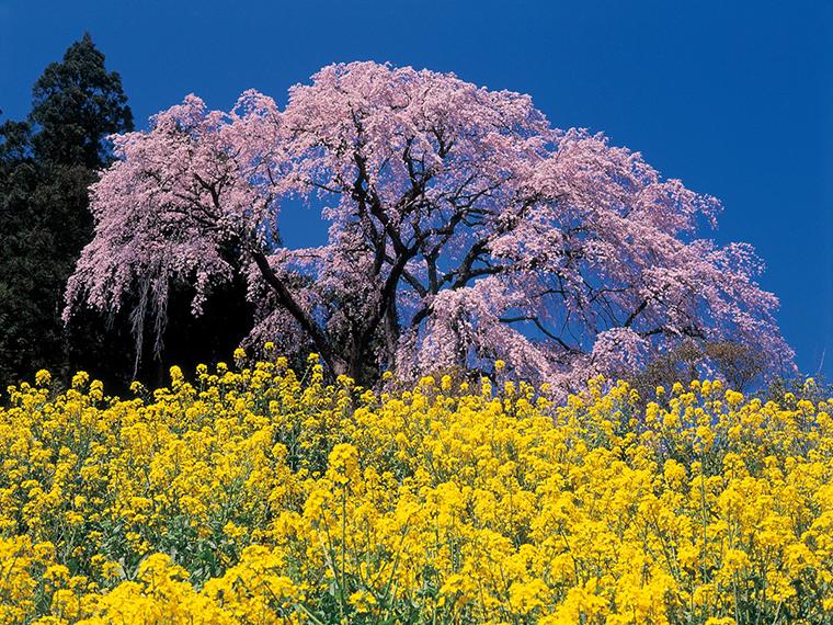 「三春滝桜」の孫ともいわれる「合戦場のしだれ桜」。満開の時には、多くのカメラマンが訪れます