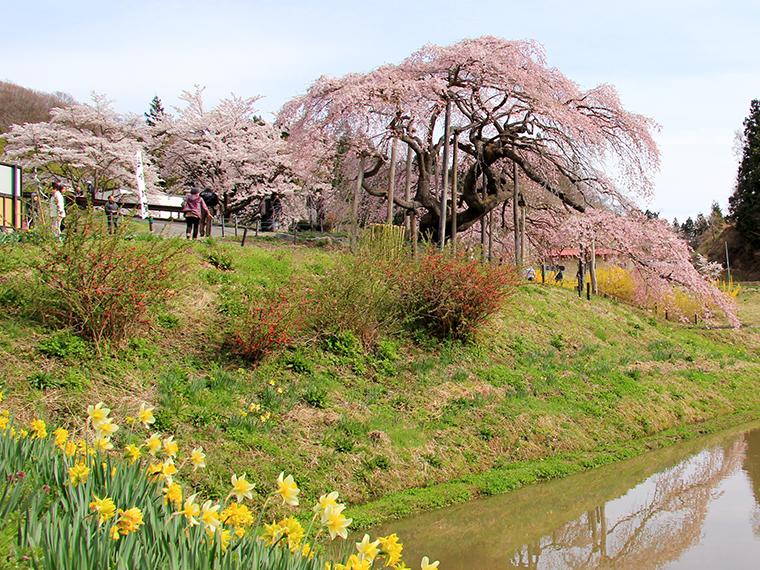 手前にある水田に桜が写りこむ様も美しい「中島の地蔵桜」、場所は二本松市針道(旧東和町)にあります