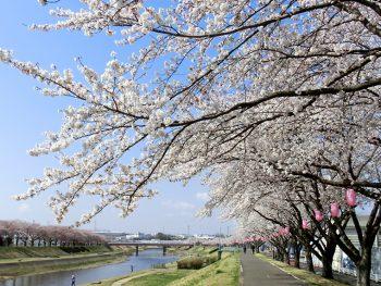 須賀川市の広大な桜並木を楽しもう!ライトアップで夜桜見物もできる