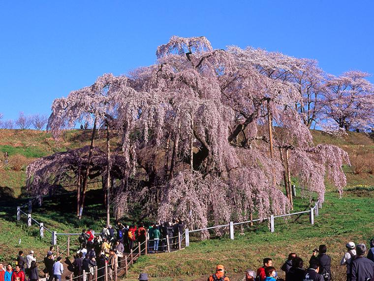 樹齢1,000年以上とも言われる「三春滝桜」。大正11年に国の天然記念物に指定された雄大な姿をたたえる巨木