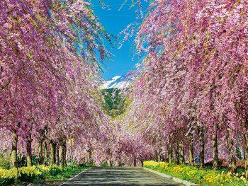 【お花見情報2019】あの人と歩きたい福島の桜並木5選