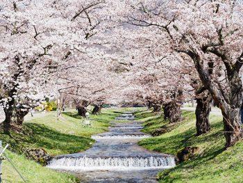 せせらぎが美しい猪苗代町「観音寺川」の桜まつり